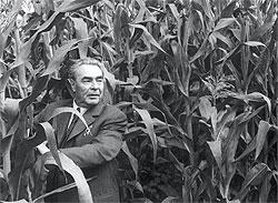 ...  — на кукурузной плантации на Алтае)